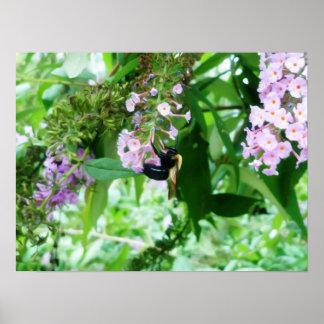 Póster Abeja de carpintero del este en la flor de Salvia