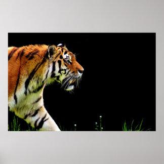 Póster Acercamiento del tigre - ilustraciones del animal
