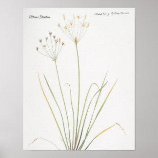 Póster Allium Straitum