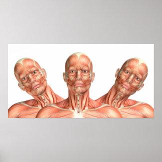 Póster Anatomía de los músculos principales masculinos en