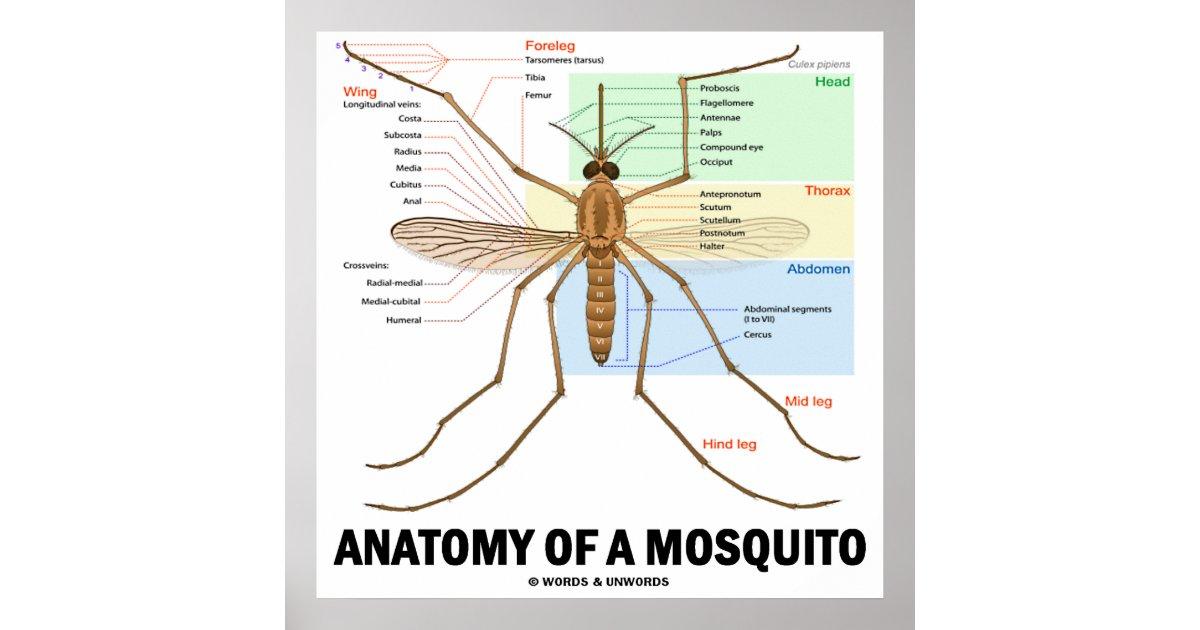Póster Anatomía de un mosquito (entomología) | Zazzle.es