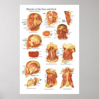 Póster Anatomía del músculo de la carta de la cara y del
