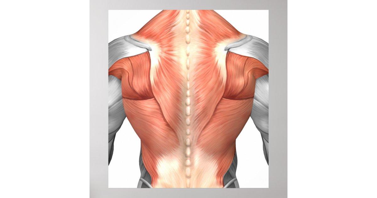 Póster Anatomía masculina del músculo de la parte | Zazzle.es