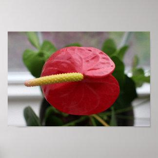 Póster Anthurium, rojo