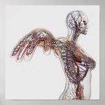 Póster Arterias, venas, y sistema linfático 2