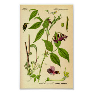 Póster Arveja de primavera (vernus del Lathyrus)