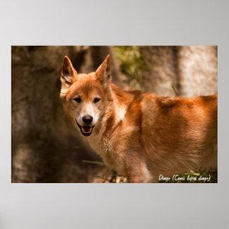 Poster australiano del dingo