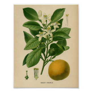 Poster botánico del vintage - naranja dulce póster