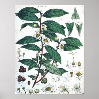 Poster botánico del vintage - té verde póster