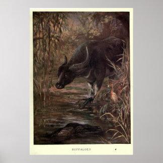 Póster Búfalo de agua del vintage Painting (1909)