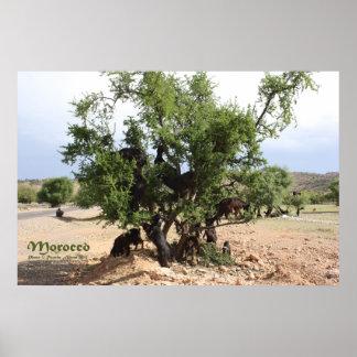Póster Cabras en los árboles - árboles del Argan,