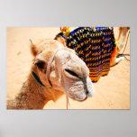 Póster Camello árabe del dromedario
