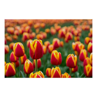Póster Campo de tulipanes
