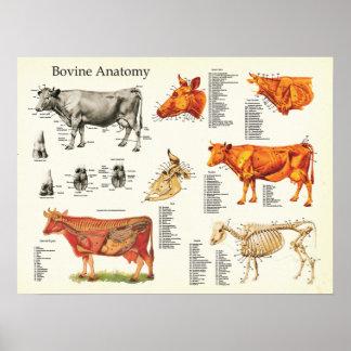 """Póster Carta anatómica bovina de la vaca - 18"""" X 24"""""""