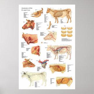 """Póster Carta bovina 24"""" de la anatomía de la vaca X 36"""""""