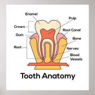 Póster Carta de la anatomía del diente