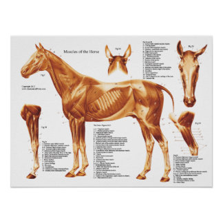Póster Carta de la anatomía del músculo del caballo