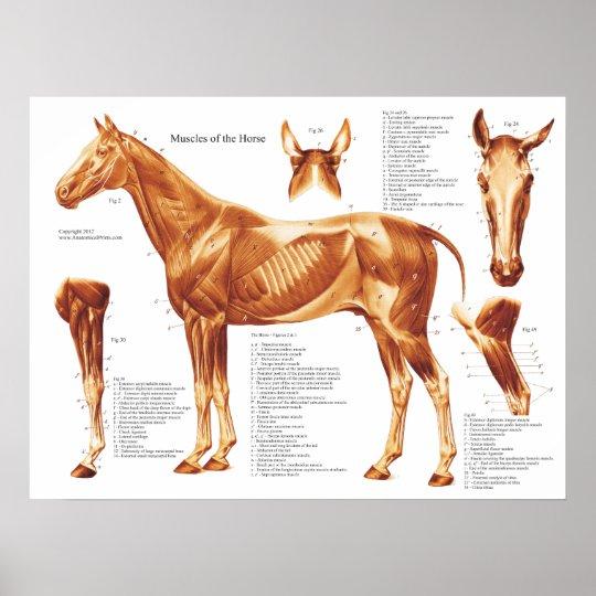 Póster Carta de la anatomía del músculo del caballo | Zazzle.es