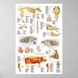 Póster Carta del veterinario de la anatomía del músculo
