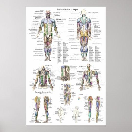 Póster Carta humana de la anatomía del músculo en español | Zazzle.es