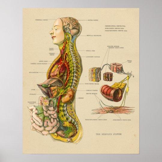 Póster Carta humana de la anatomía del sistema nervioso | Zazzle.es