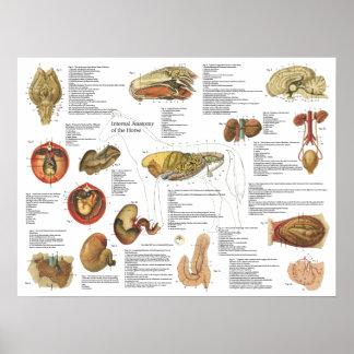 """Póster Carta interna 18"""" de la anatomía del caballo X 24"""""""
