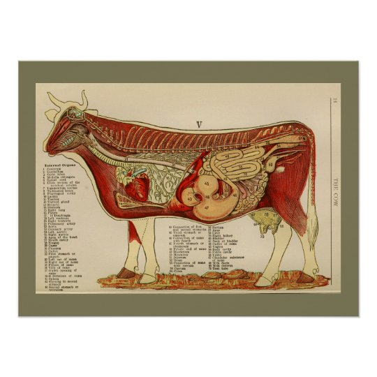 Póster Carta interna 1917 de la anatomía de la vaca del   Zazzle.es