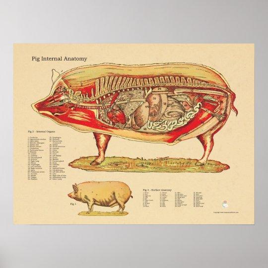 Póster Carta interna veterinaria de la anatomía del cerdo   Zazzle.es