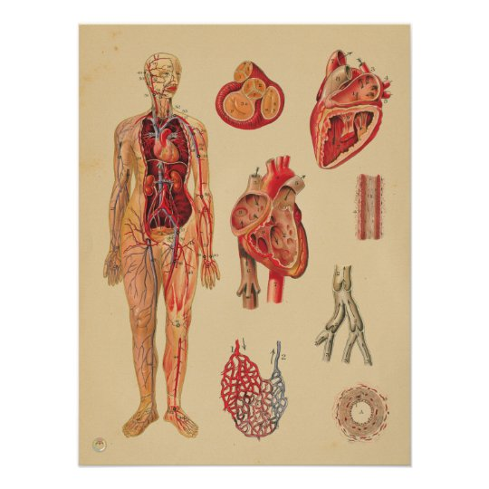 Póster Carta médica de la anatomía humana de las arterias | Zazzle.es
