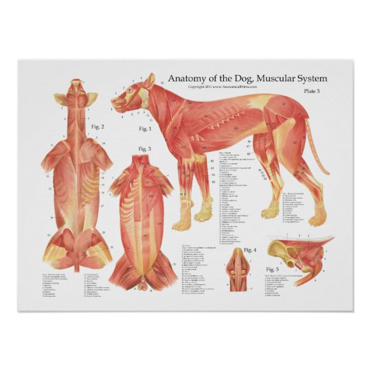 Póster Carta muscular del poster de la anatomía del perro | Zazzle.es
