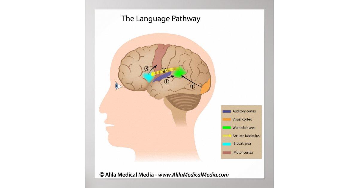 Póster Centros de discurso del diagrama del cerebro | Zazzle.es