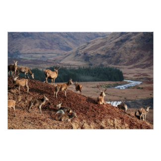 Póster Ciervo común en la cañada Etive, montañas, Escocia