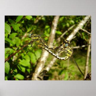 poster Club-atado de las libélulas Póster