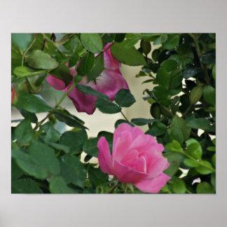 Poster color de rosa Knockout rosado