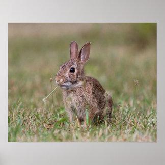 Póster Conejo salvaje