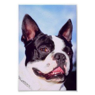 Poster de Boston Terrier Póster