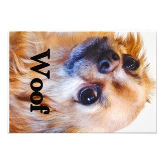 Poster de la chihuahua fotografía