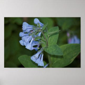 Poster de la flor de los Bluebells