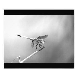 Poster de la libélula foto