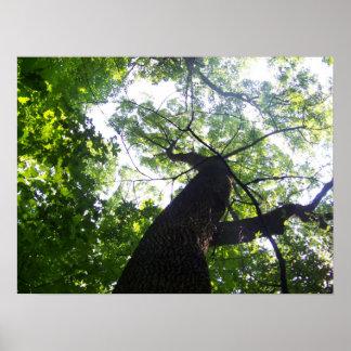 Poster del árbol de arce