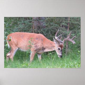 Poster del ciervo mula póster