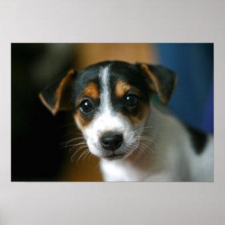 Poster del perrito de Jack Russell Terrier Póster