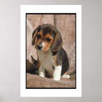 Poster del perrito del beagle póster