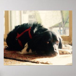 Poster del perro del perro de aguas de Bretaña Póster