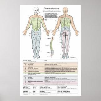 Póster Dermatomes, Myotomes y poster de DTR