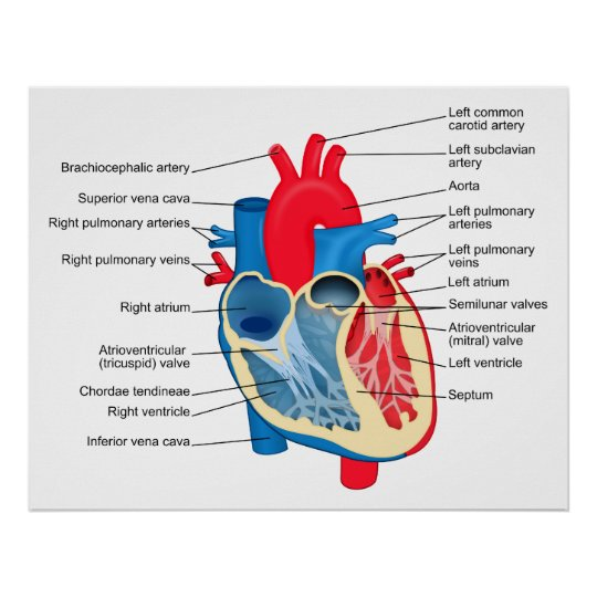 Póster Diagrama de las partes individuales del corazón | Zazzle.es