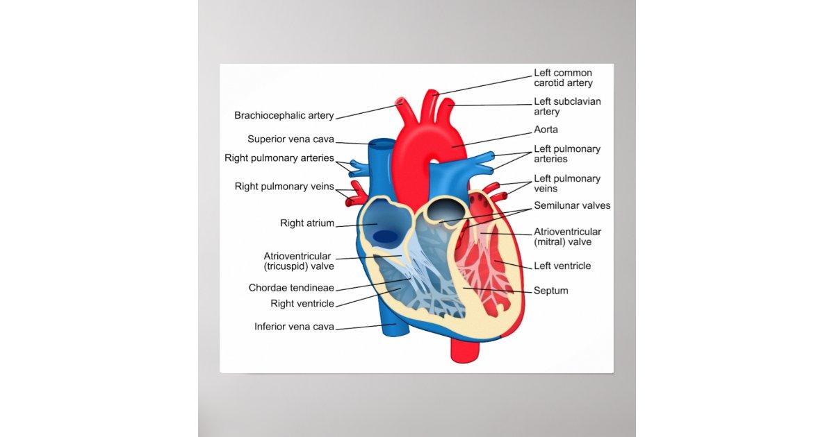 Póster Diagrama del poster humano del corazón | Zazzle.es