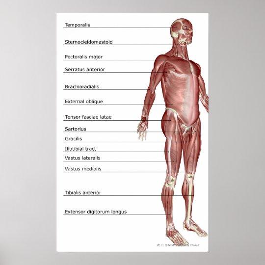 Póster Diagrama del sistema muscular | Zazzle.es