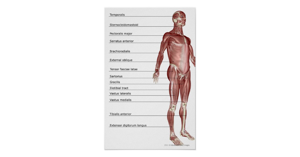 Póster Diagrama del sistema muscular | Zazzle.es