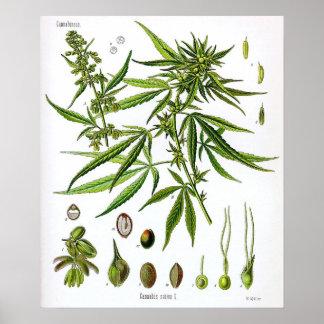 Póster Dibujo Sativa de la botánica del vintage de la
